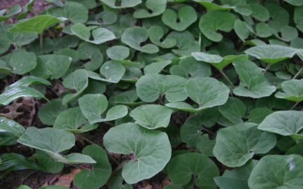 image of groundcover plants