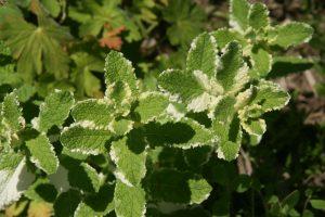 Variegated herb 9cm Plant Mentha. Mint Pineapple