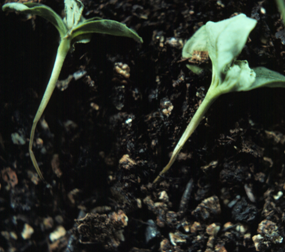 Lower stem collapse of Zinnia seedlings due to damping-off.