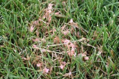Bleached grass blades with fuzzy, pink to red masses of spider web-like strands are typical of red thread(R. Latin, Purdue Univ)