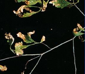 Anthracnose - symptoms on oak