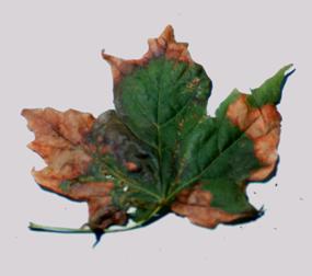 Anthracnose symptoms on maple leaf