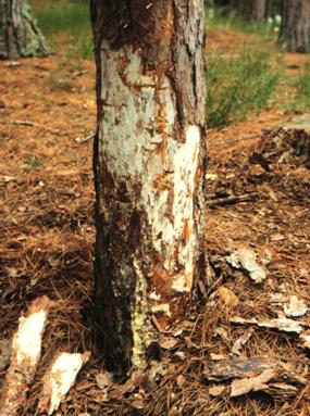 Armillaria Root Disease Wisconsin Horticulture