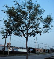 Ash tree with brooming symptom of ash yellows.