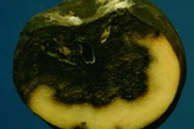 Bacterial soft rots cause the collapse of plant parts such as potato tubers. (Photo courtesy: UW-Madison/Extension)