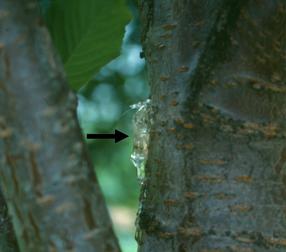 Ooze (see arrow) on Prunus branches or trunks can indicate a bacterial canker problem.