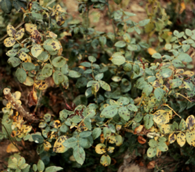Typical spotting and yellowing of rose leaves due to black spot.