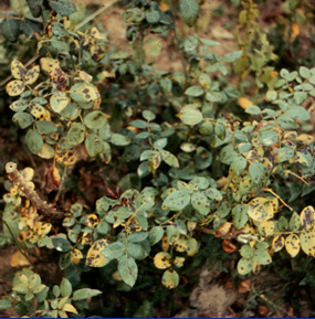 Black Spot Wisconsin Horticulture