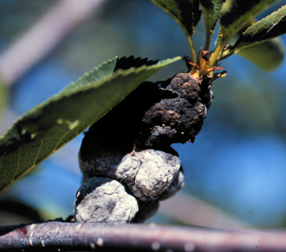 A typical older black knot gall with colonization by whitish secondary fungi.