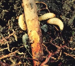 Black vine weevil larvae
