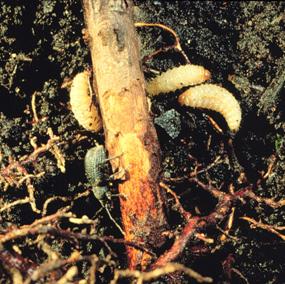 Black Vine Weevil Wisconsin Horticulture