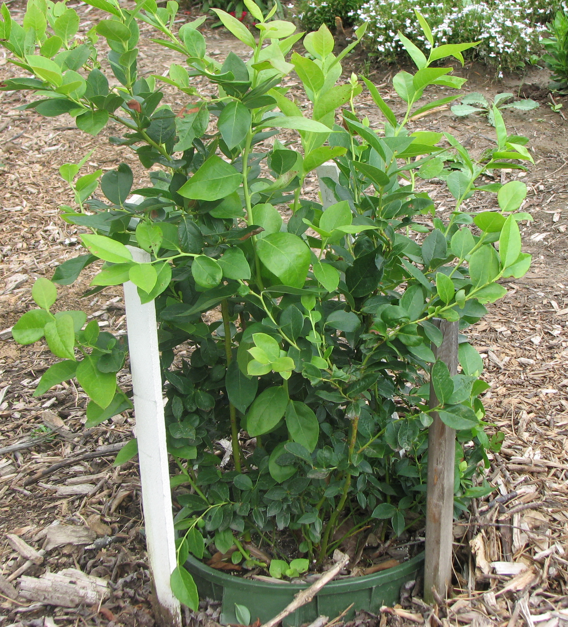 With Just A Little Effort Home Gardeners Can Successfully Grow Blueberries In Containers