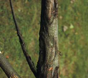 Multiple butternut cankers on a butternut tree trunk can girdle and kill the tree.