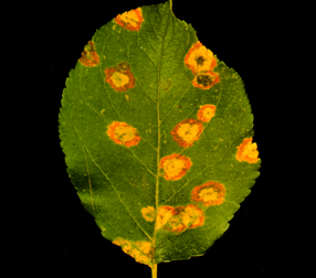 Circular, yellow-orange diseased areas typical of cedar-apple rust on apple.