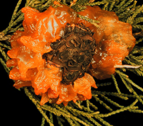 Cedar-apple rusts form slimy, orange fruiting body on junipers in early spring.