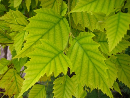 Chlorosis Wisconsin Horticulture