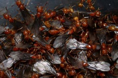 Citronella ants. Reproductive ants or swarmers