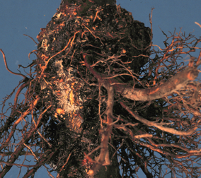 Crown gall leads to tumor-like growths that form at or near the soil line.