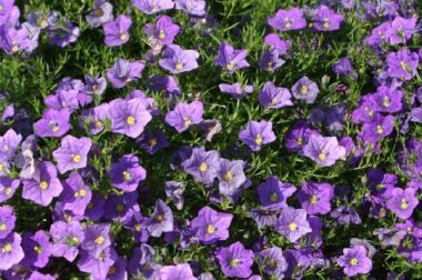 Cupflower produces blue or white, star-shaped, saucer-like flowers.