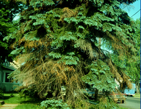 Death of lower branches of Colorado blue spruce typical of Cytospora canker.