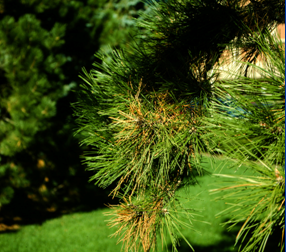 Diplodia shoot blight and canker killing branch tips of Austrian pine.