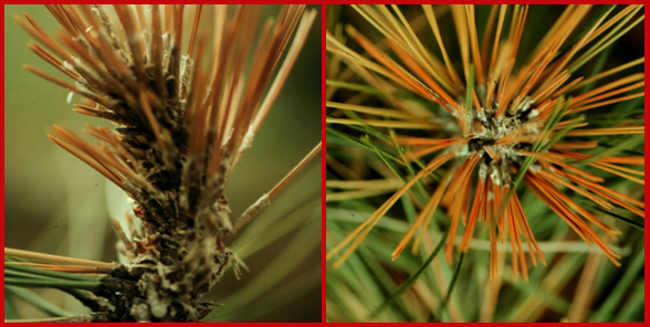 images of diseased conifers