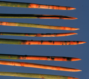 Browning of needles typical of Dothistroma needle blight.