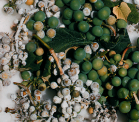 Downy mildew can cause severe losses in regions where grapes are produced.