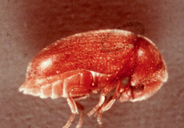 A drugstore beetle adult