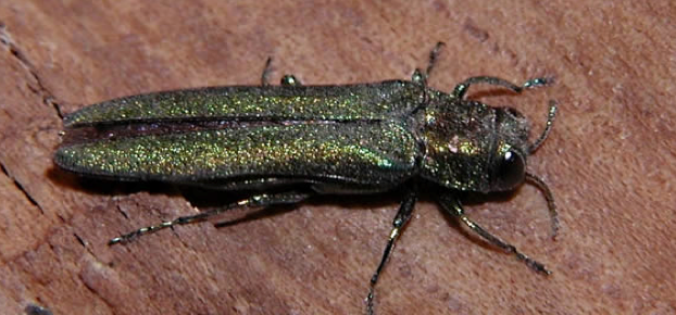 Professional Guide to Emerald Ash Borer Insecticide Treatments