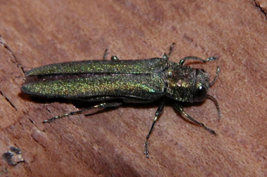 Adult EAB is a small metallic green beetle measuring 3/8