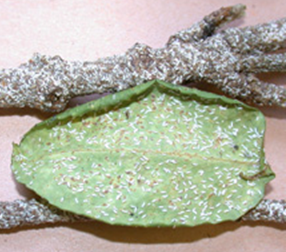 High populations of Euonymus scale can cause leaf loss and twig death.