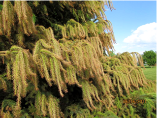 Potential Imprellis damage on spruce (photo courtesy of Lisa Therriault)