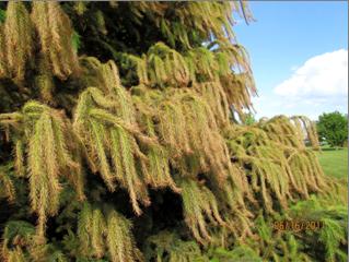 Potential Imprellis damage on spruce (photo courtesy of Lisa Therriault)