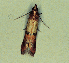 An adult Indian meal moth