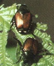 Japanese beetle adults