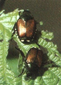 Japanese Beetle Wisconsin Horticulture
