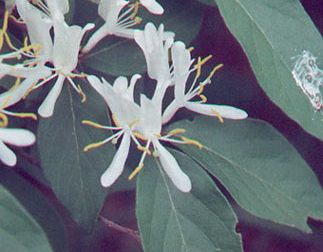 Amur honeysuckle (photo by Wisconsin DNR)