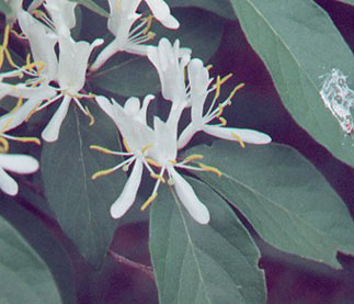 Invasive Exotic Shrub Honeysuckles