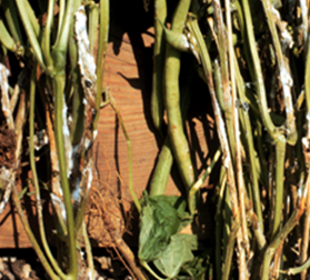 Stem cankers, cottony hyphae and sclerotia (see arrows) of white mold on snap beans.