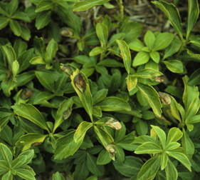 Volutella blight often starts as lesions on individual leaves, but can eventually kill groups of pachysandra plants.