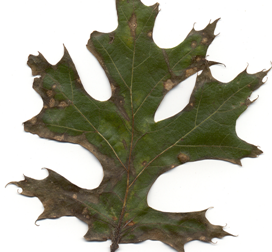 Symptoms of Tubakia (Actinopelte) leaf spot on oak.