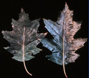 Marginal leaf bronzing or tanning is often an early symptom of oak wilt.