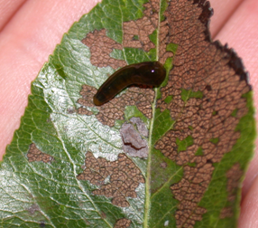 Pear slugs are tadpole-shaped and slimy in appearance. They feed on the tissue between leaf veins giving leaves a lacy appearanc