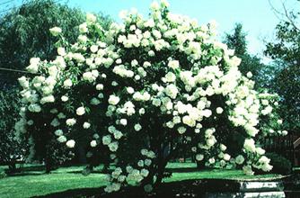 Hydrangea paniculata 'Grandiflora'(PeeGee hydrangea) in summer bloom.