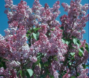 Blooming of common lilacs is a common phenological indicator.