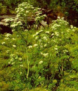 Invasive Plants Of Wisconsin Poison Hemlock Wisconsin