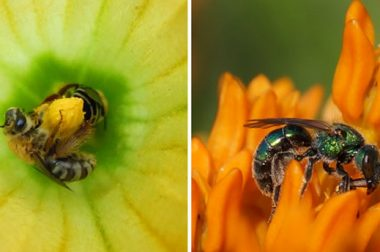 Squash bees,Peponapis pruinosa (left), & sweat bees,in the insect tribe Augochlorini (right),are common bees native to N.America