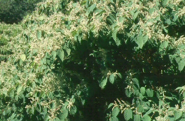Japanese knotweed (Photo by S. Kelly Kearns, Wisc. DNR)