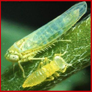 Photo of potato leafhopper adult and nymph